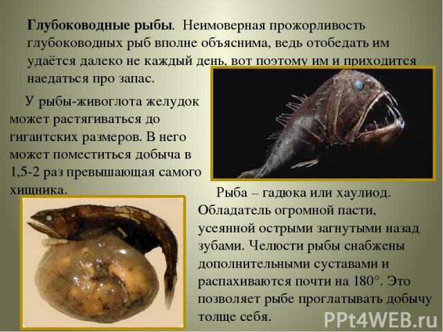 Глубоководные рыбы. Неимоверная прожорливость глубоководных рыб вполне объяснима, ведь отобедать им удаётся далеко не каждый день, вот поэтому им и приходится наедаться про запас. У рыбы-живоглота желудок может растягиваться до гигантских размеров. …